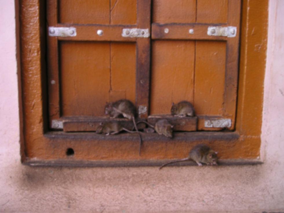rat-357_1920.jpg