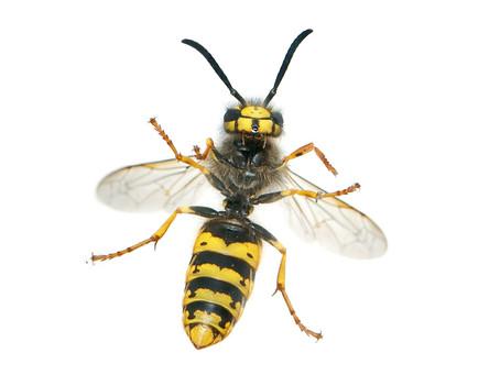 6 Effectieve tips tegen wespen