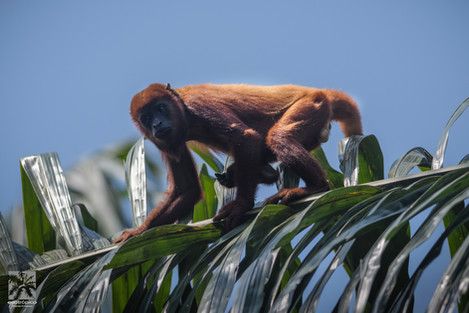 Mono auyador.jpg