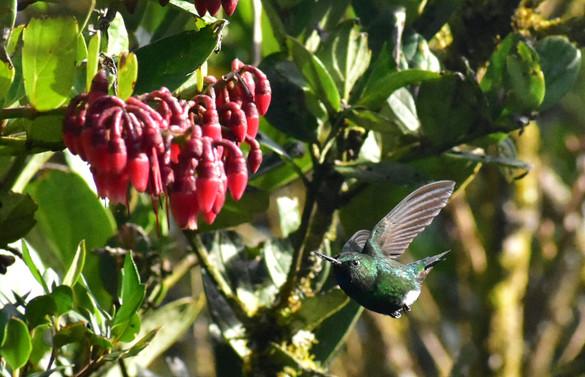Calzoncitos Relucientes - Eriocnemis vestita - Parque Ecológico Matarredonda, Colombia