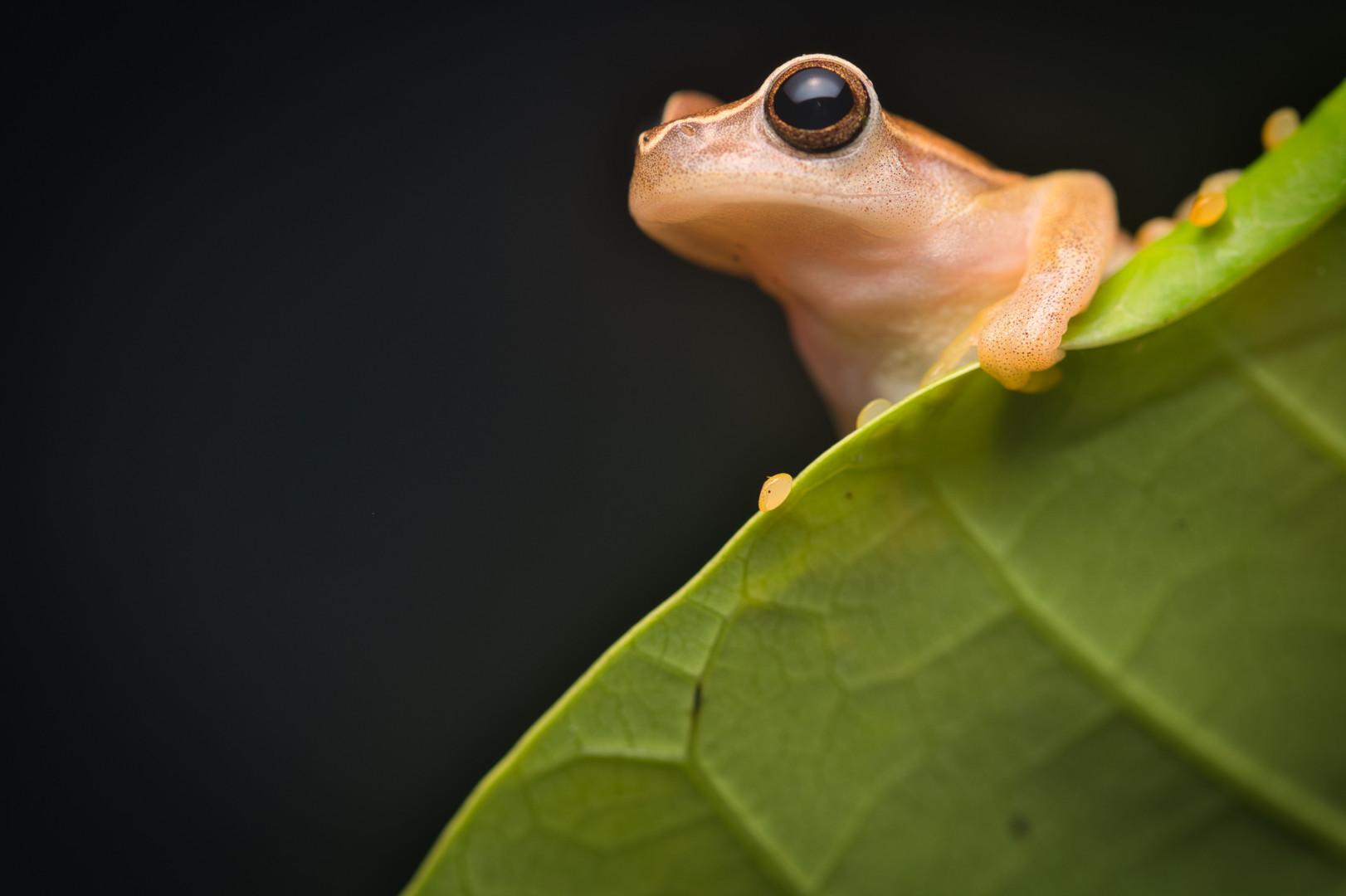 Dendropsophus microcephalus - Dibulla, Guajira, Colombia