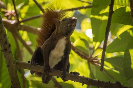 Ardilla - Dibulla, Guajira, Colombia
