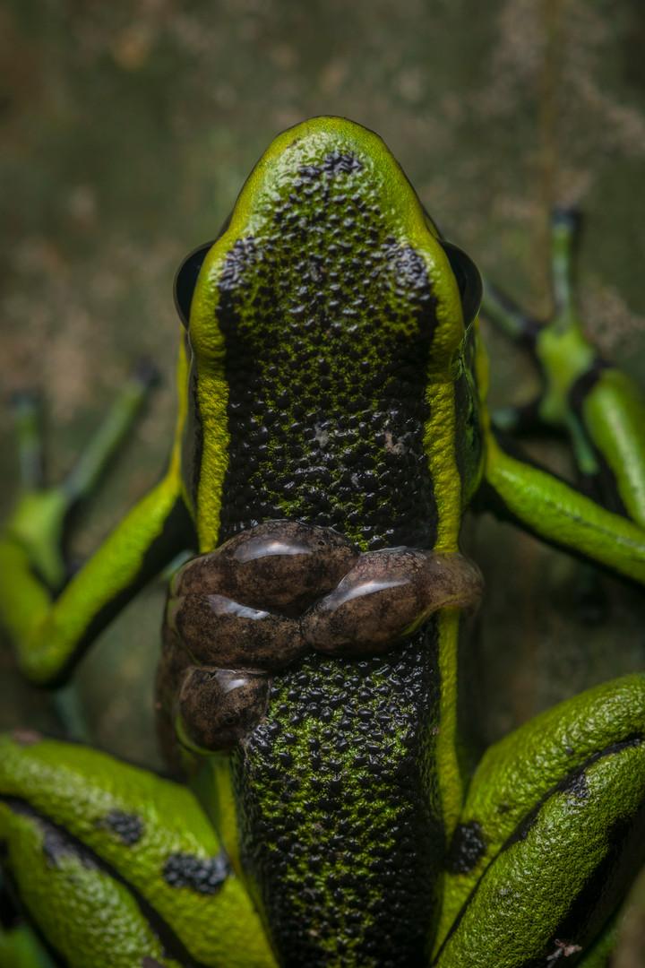 Rana Dardo - Ameerega trivittata - Palmari, Brasil