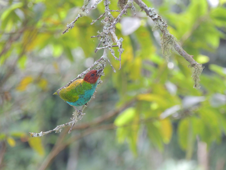 Tangara Cabecirrufa - Tangara gyrola - Guaduas, Colombia