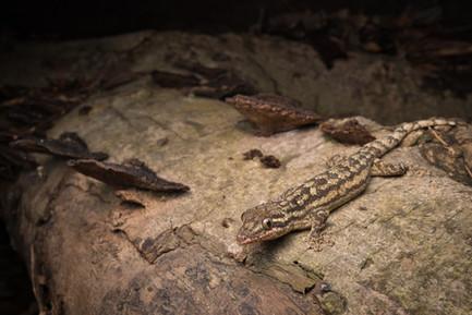 Thecadactylus rapicauda - Dibulla, Guajira, Colombia