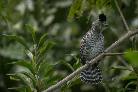 Batará barrado - Thamnophilus doliatus - Municipio de Colombia, Huila