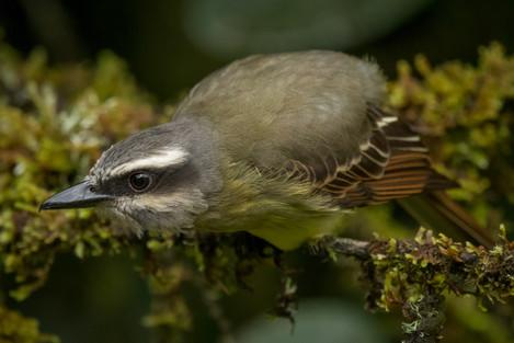 Atrapamoscas lagartero - Myiodynastes chrysocephalus - Municipio de Colombia, Huila