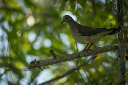 Paloma - Dibulla, Guajira, Colombia