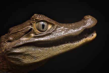 Caiman crocodilus fuscus - Dibulla, Guajira, Colombia