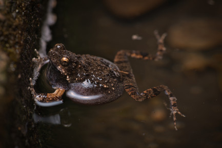 Engystomops pustulosus - Dibulla, Guajira, Colombia