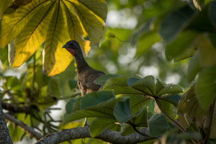 Chachalaca - Dibulla, Guajira, Colombia