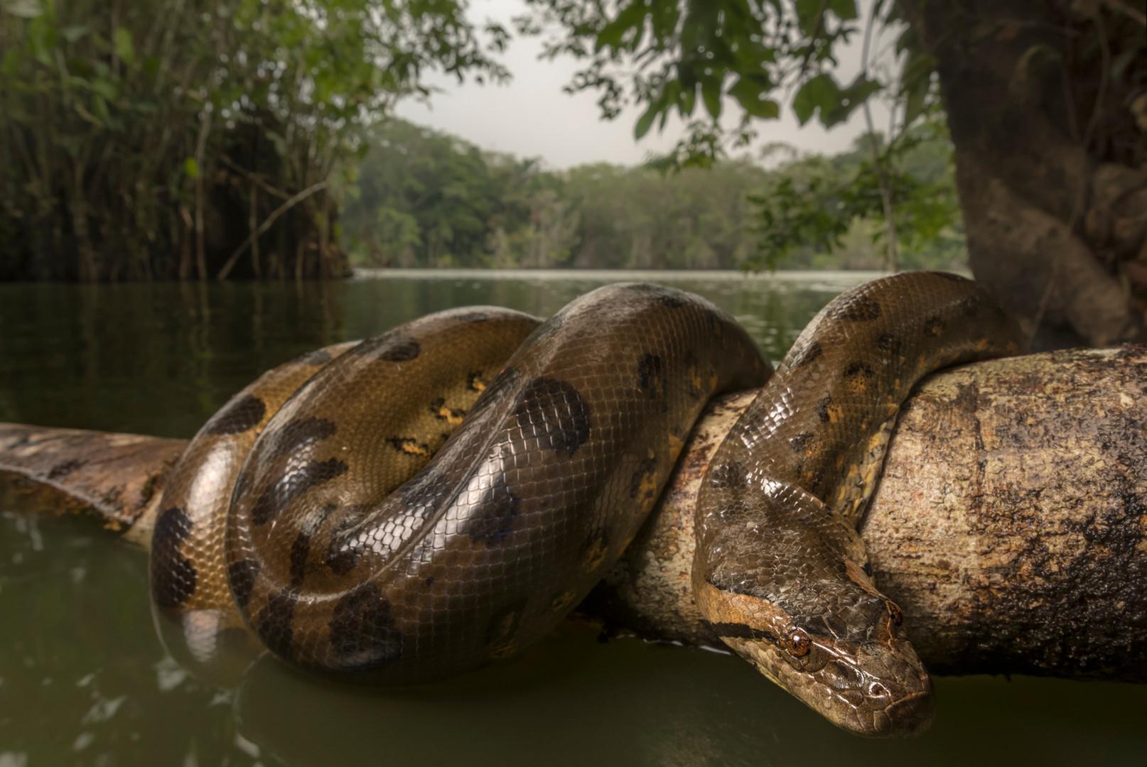 Anaconda - Eunectes murinus - Sucumbios, Ecuador