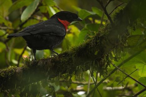 Toropisco - Pyroderus scutatus - Municipio de Colombia, Huila