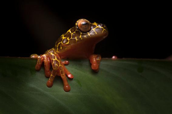 Rana Jirafa - Dendropsophus triangulum - Palmari, Brasil