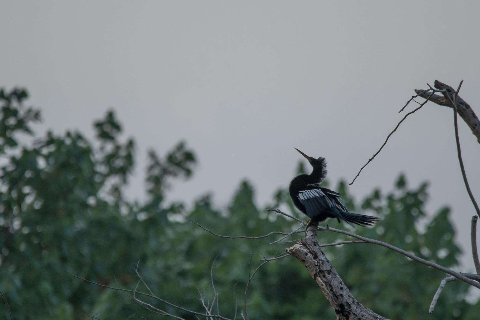 Pato aguja - Dibulla, Guajira, Colombia