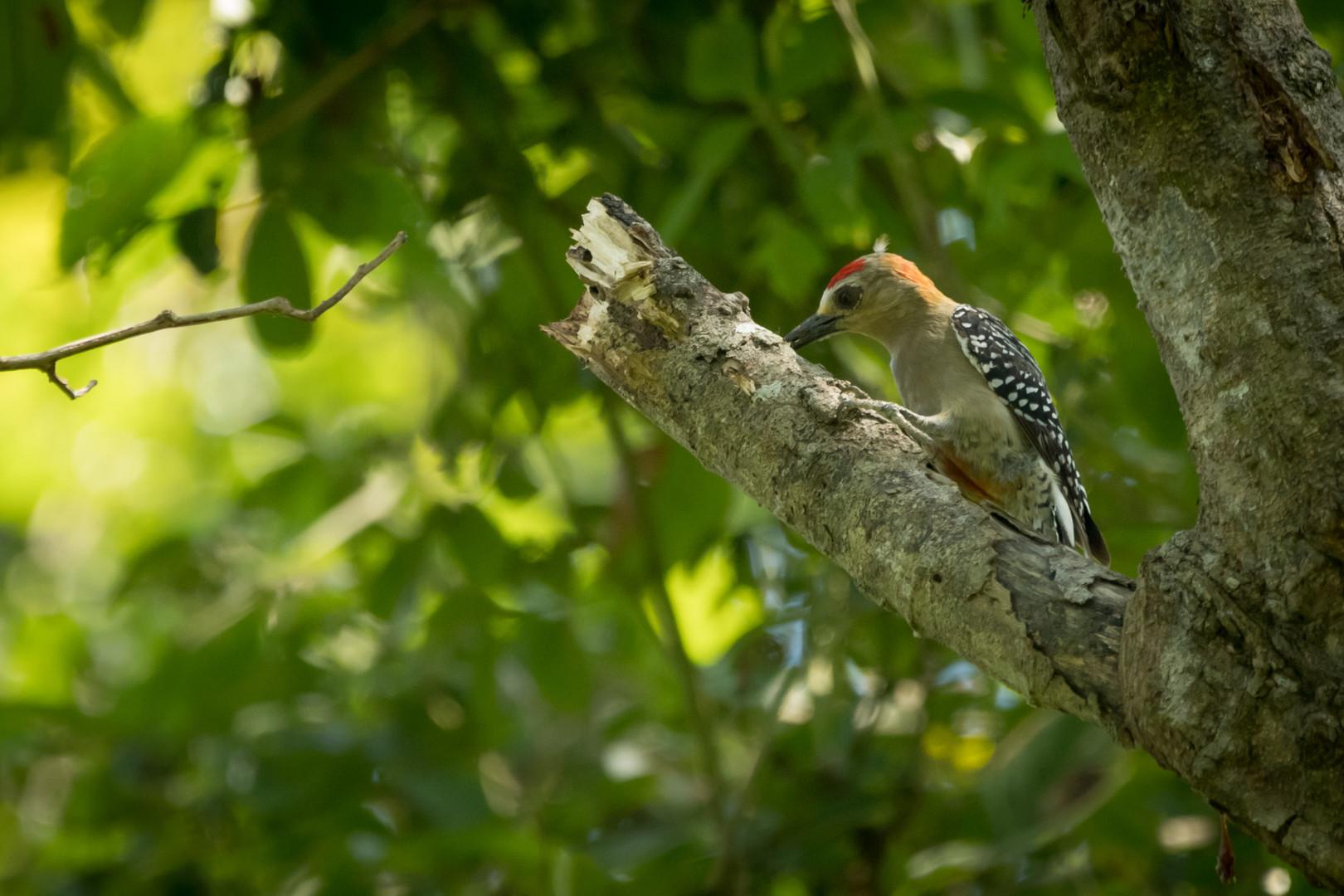 Melanerpes - Dibulla, Guajira, Colombia