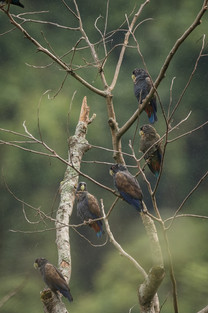Cotorra maicera - Pionus chalcopterus - Municipio de Colombia, Huila