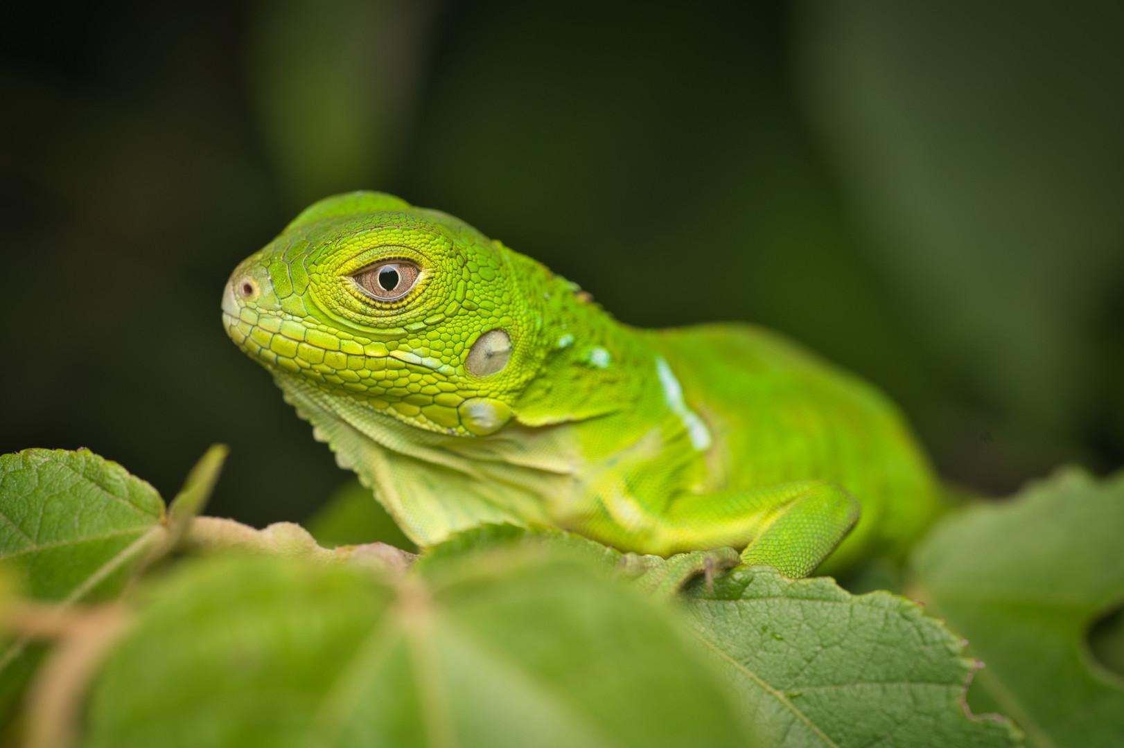 Iguana igiana - Dibulla, Guajira, Colombia