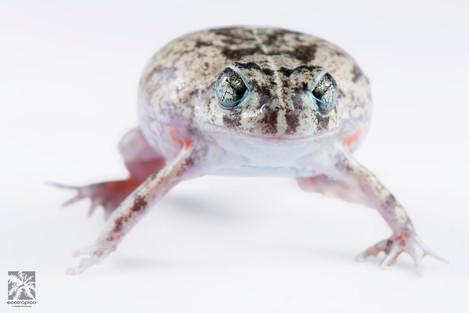 Pleuroderma barchius.jpg