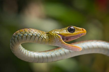 Chironius spixii - Dibulla, Guajira, Colombia