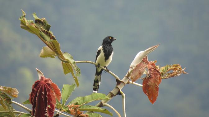 Tangara Urraca - Cissopis leverianus - Santa María, Boyacá, Colombia