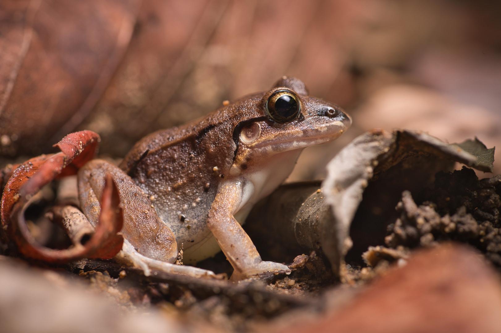 Leptodactylus poecilochilus - Dibulla, Guajira, Colombia