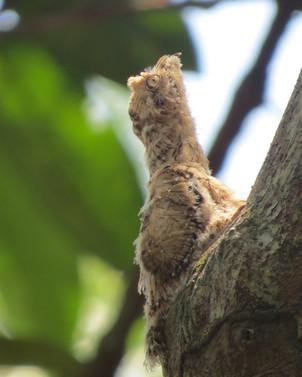 Bienparado Rufo - Volantón de Nyctibius bracteatus - Abuna, Rondonia, Brasil