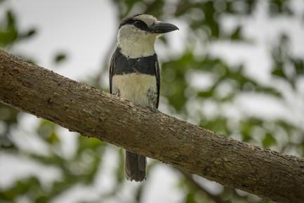 Puffbird - Dibulla, Guajira, Colombia