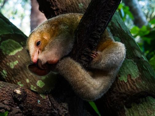 Osito Trueno - Ciclopes dydactilus - Manaus, Brasil