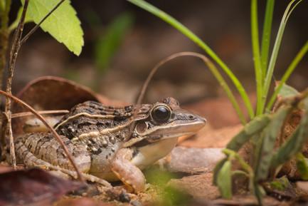 Leptodactylus fuscus - Dibulla, Guajira, Colombia
