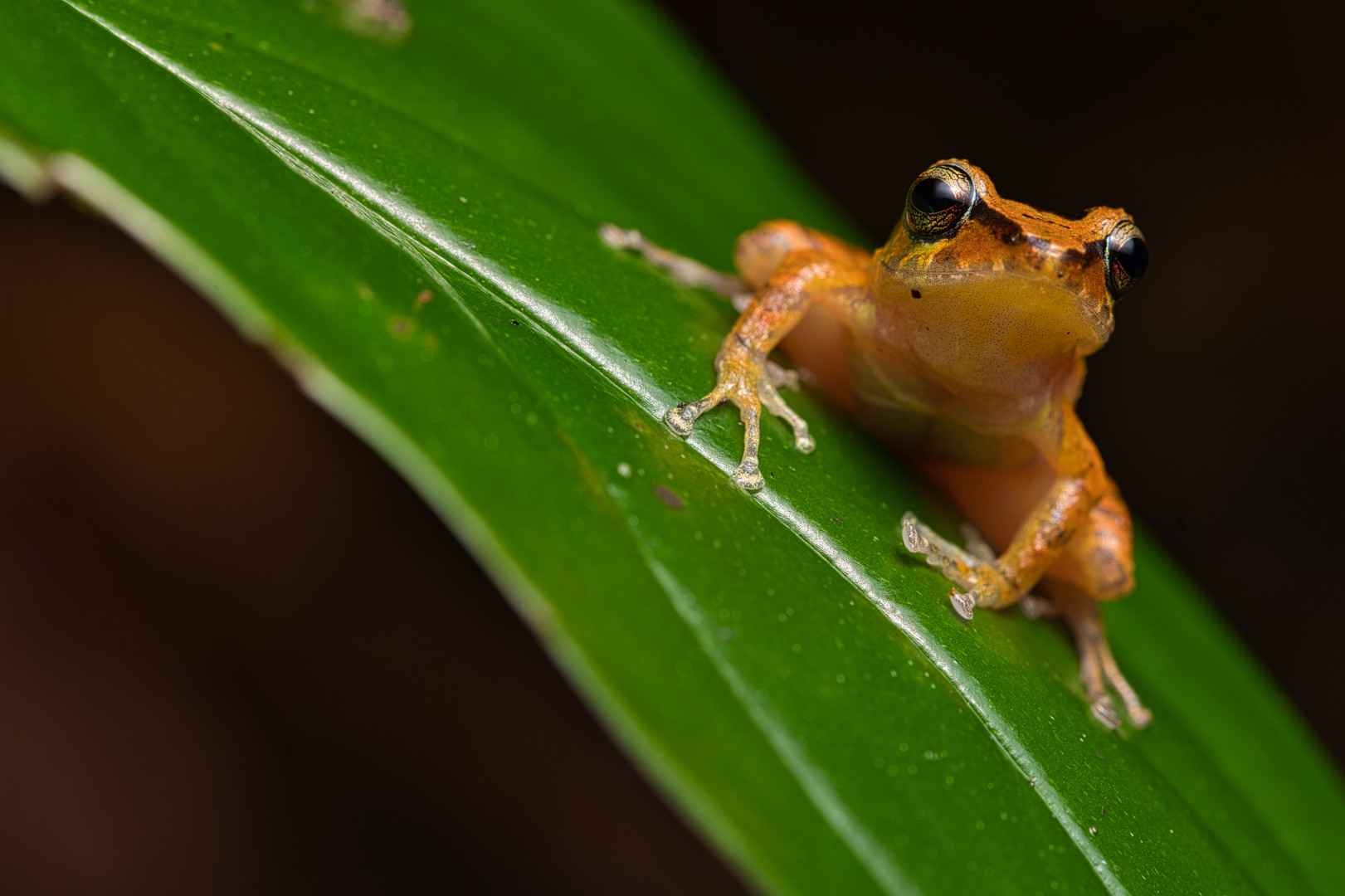 Pristimantis sp. - Municipio de Colombia, Huila
