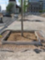IFF 580, quadratischer Unterflurbaumrost zur Aufnahme eines Oberflächenbaumrostes: Der Unterflurbaumrost ist eingebaut und derBaum gepflanzt.Der Einbau-rahmenist montiert, diePflasterarbeiten können bis zum Einbaurahmen ausgeführt werden.