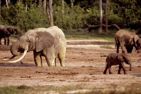 Elefantes eram da espécie florestal, além daqueles da Savana da Universidade de Illinois