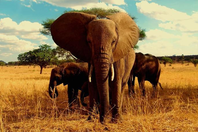 elefantes africano marfim elephant