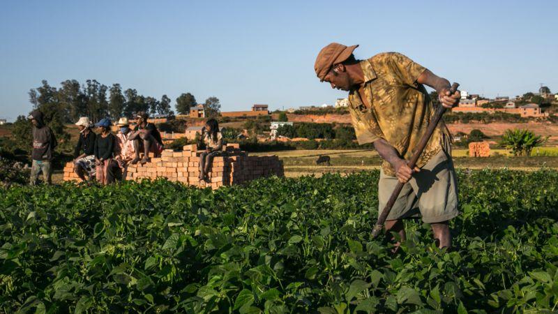 Agricultores em Madagascar cultivam artemísia, usada em alguns tratamentos contra malária
