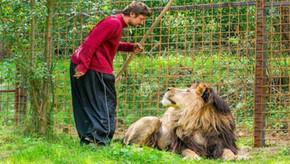 África do Sul quer proibir criação de leões em cativeiro para caça e entretenimento