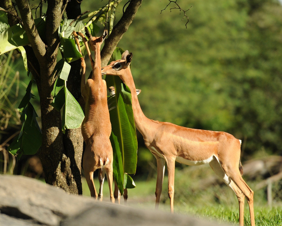 Gazela-Girafa