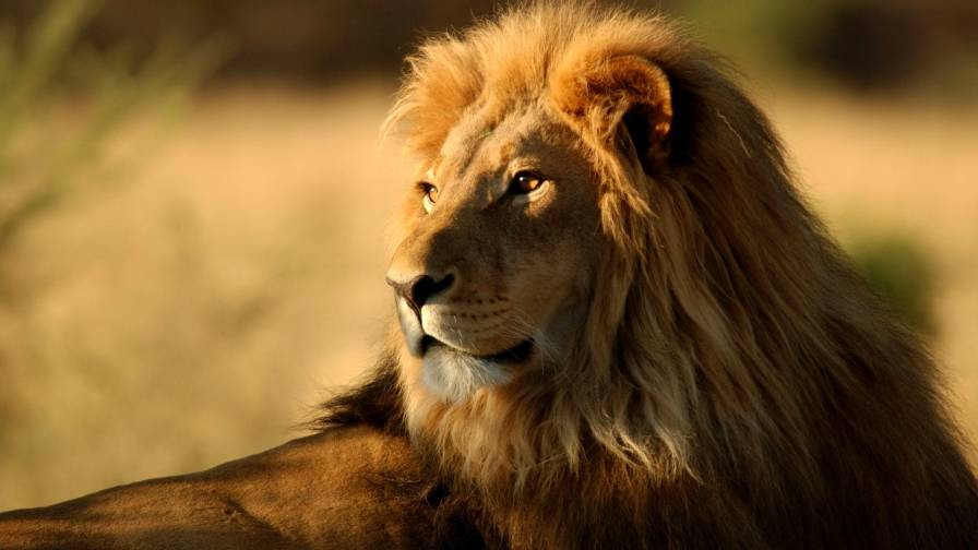 leao leão africano lion