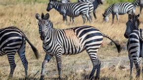Zebras manchadas e estranhamente listradas podem ser um aviso para o futuro das espécies