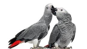 Papagaios cinzentos africanos – cruel preocupação com a conservação e ameaça pandêmica