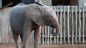 Elefante albino da África do Sul supera obstáculos e se adapta a manada