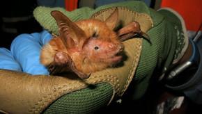 Nova espécie de morcego com tonalidade de orangotango descoberta na África Ocidental