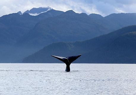 Diving+sperm+whale.jpg