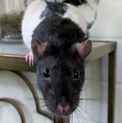 Basil Ratbone