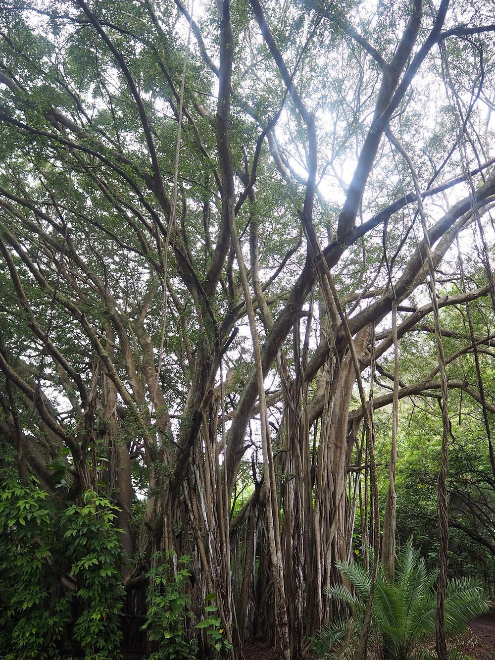 最初は神秘的なバニヤンツリーの連なる場所へ。実はここは外国人インスタグラマーでは有名なインスタポイント