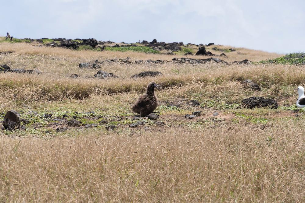 時期によっては雛鳥にも会えます。でも真っ黒で正直可愛くはない(笑) 大きさも親鳥とほとんど変わりませんでした (Photo/Tomohito Ishimaru)