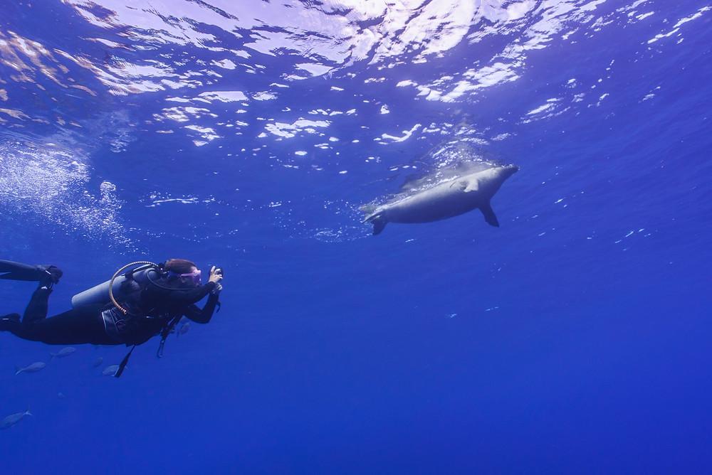 水面で遊んでいたハワイアンモンクシール(Photo/Tomohito Ishimaru)