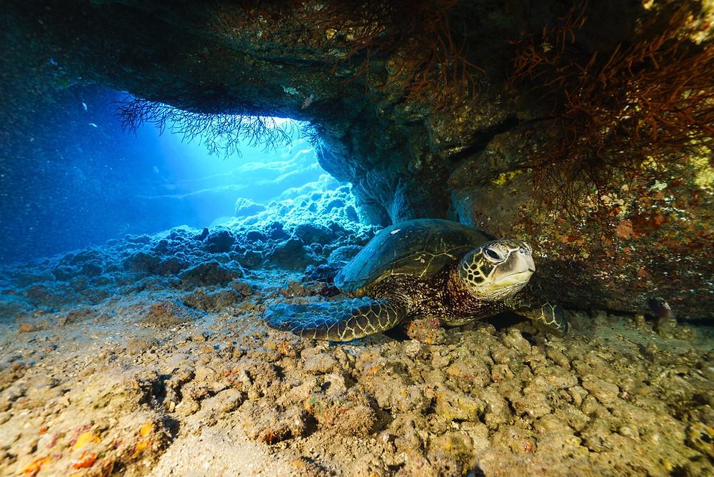 岩陰に隠れるウミガメ(Photo/Tomohito Ishimaru)