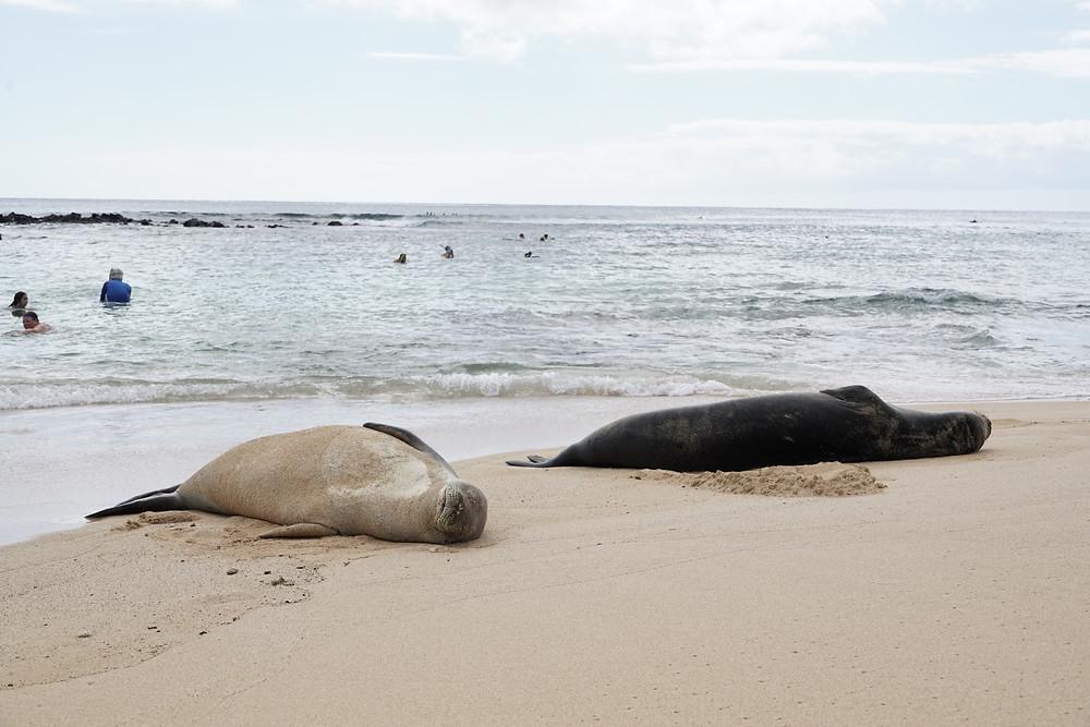 陸のハワイアンモンクシール。カウアイ島のポイプビーチで以前撮影したもの (Photo/Tomohito Ishimaru)