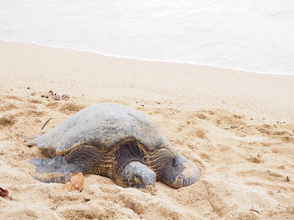 アリイビーチで亀を撮りました Mさん撮影